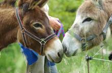 Walking with donkeys in the Luberon