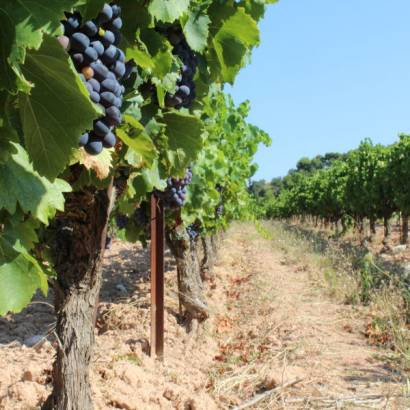 Discovery of the harvest at Clos de Caveau