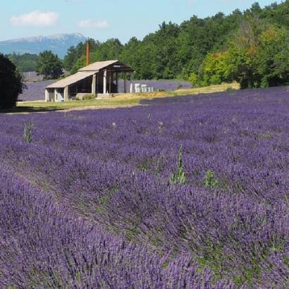 Visit a traditional lavender distillery